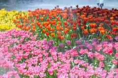 Tulip flower with green leaf background in tulip field at winter or spring day for postcard beauty decoration and agriculture. Concept design stock images