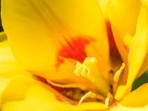 Tulip Flower Inside amarilla Foto de archivo libre de regalías