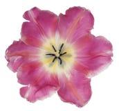 Tulip flower isolated. Studio Shot of Pink Colored Tulip Flower Isolated on White Background. Large Depth of Field DOF. Macro stock photography
