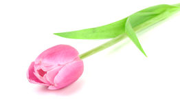 Tulip flower isolated on a white background. Royalty Free Stock Photography