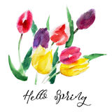 Tulip flower isolated on white background with lettering `Hello Spring`, vintage watercolor illustration Royalty Free Stock Image