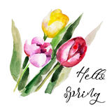 Tulip flower isolated on white background with lettering `Hello Spring`, vintage watercolor illustration Stock Photos