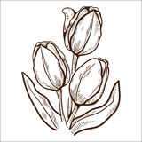 Tulip flower isolated on white. Stock Photography