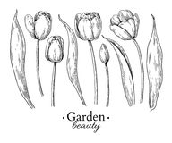 Tulip flower and leaves drawing. Vector hand drawn engraved flor Stock Photo