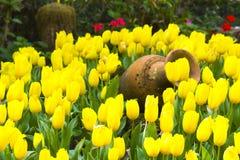 Tulip. Flower Love garden plant backgrounds tulip stock photo