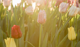 Tulip flower in the morning light Stock Photo