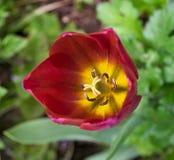 Tulip Flower In My Garden Imágenes de archivo libres de regalías