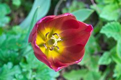 Tulip Flower In My Garden Foto de archivo