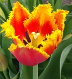 Tulip flower. stock images