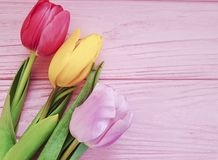 tulip flower a pink wooden background royalty free stock photography