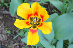 Tulip flower red and yellow Royalty Free Stock Photos