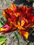Tulip flower of red-yellow. Big red yellow spring tulip Stock Photos