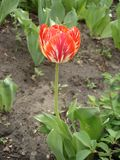 Tulip flower 'Rembrandt' (red and yellow) Royalty Free Stock Images