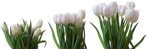 Tulip Flower Series Photographie stock libre de droits