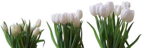 Tulip Flower Series Fotografia Stock Libera da Diritti