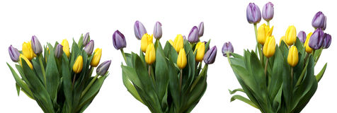 Tulip Flower Series Lizenzfreie Stockfotos