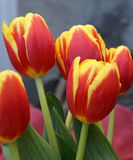 Tulip flower. Showing 6 tepals in two whorls each red in basal part and yellow in upper part, cultivated bulbous ornamental herb with flowers on long naked Stock Photography