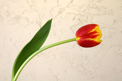Tulip flower. Showing 6 tepals in two whorls each red in basal part and yellow in upper part, cultivated bulbous ornamental herb with flowers on long naked Royalty Free Stock Photography