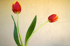 Tulip flower. Showing 6 tepals in two whorls each red in basal part and yellow in upper part, cultivated bulbous ornamental herb with flowers on long naked Stock Photo