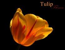 Tulip flower Stock Images
