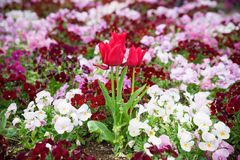 Tulip flower Royalty Free Stock Photography