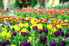 Tulip. Flower springtime blooming field Stock Image