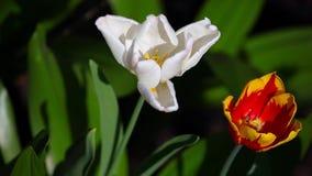 Tulip flower summer garden day light. Tulip flower summer season garden day light stock footage