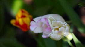 Tulip flower summer garden day light. Tulip flower summer season garden day light stock video