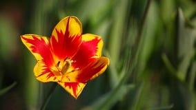 Tulip flower summer garden day light. Tulip flower summer season garden day light stock video footage