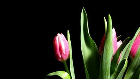Tulip Flower Time-lapse. Time-lapse of tulip(Tulipa sp.)flowers blooming. Studio shot over black stock video footage