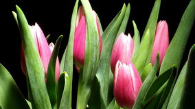 Tulip Flower Time-lapse. Time-lapse of tulip(Tulipa sp.)flowers blooming. Studio shot over black stock video
