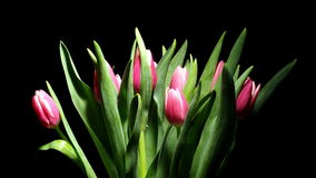 Tulip Flower Time-lapse stock video