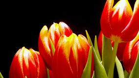 Tulip Flower Time-lapse. Time-lapse of tulips(Tulipa sp.) blooming. Studio shot over black stock video footage