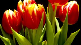 Tulip Flower Time-lapse. Time-lapse of tulips(Tulipa sp.) blooming. Studio shot over black stock footage