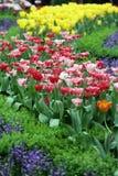 Tulip Flower-tuinachtergrond Royalty-vrije Stock Afbeeldingen