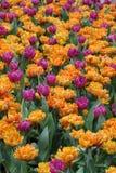 Tulip Flower-tuinachtergrond Stock Afbeelding