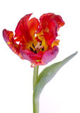 Tulip flower tulips bulbs flowers. Isolated on white background Stock Image