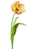 Tulip Flower Tulips Flower Floral amarilla Foto de archivo