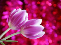 Tulip Flower Valentines Day Card - Stock Photo Royalty Free Stock Photo