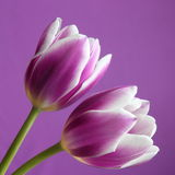 Tulip flower : Valentines / Mothers Day Stock Phot. Tulip flower - Valentines / Mothers Day , Valentines or Easter Card : white pink tulip on purple background stock photography