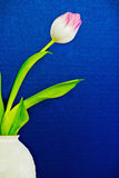 Tulip Flower in a Vase with a Blue Background Royalty Free Stock Photo