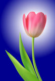 Tulip flower Royalty Free Stock Image