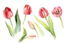 Tulip flower watercolor illustration. Floral decorative nature art stock illustration