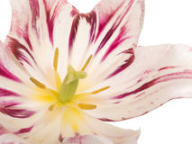 Tulip flower on a white background Royalty Free Stock Photos