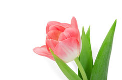 Tulip flower Stock Photography