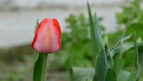 Tulip flower in the wild nature landscape. Tulip  flower in the wild nature landscape stock video footage