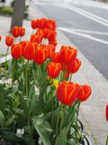 Beautiful orange Tulips, tulips meadow nature in spring royalty free stock photo