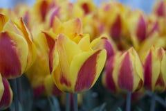 Tulip Flower Yellow Red Imagen de archivo