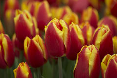 Tulip Flower Yellow Red Fotografía de archivo