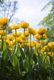 Tulip flowerbed Royalty Free Stock Image